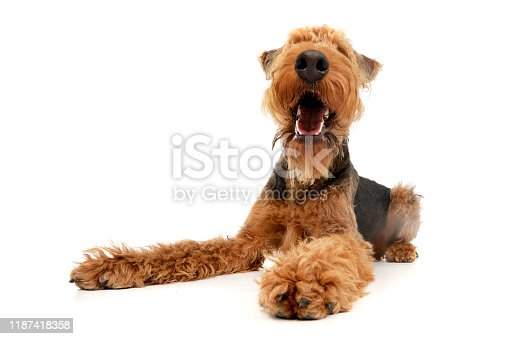 istock Studio shot of an adorable Airedale terrier 1187418358