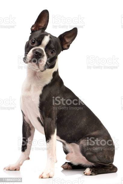 Studio shot of an adorable boston terrier picture id1188933100?b=1&k=6&m=1188933100&s=612x612&h=xnwoj7siw6fy dvos9i2cmiw2etbynm3gydgx2mkf34=