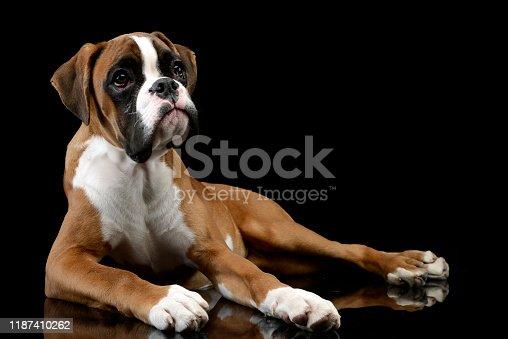 Studio shot of an adorable Boxer dog lying on black background.