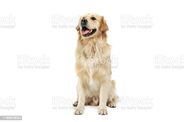 Studio shot of an adorable golden retriever sitting and looking picture id1189928024?b=1&k=6&m=1189928024&s=612x612&h=r5e11rleqndmgesn1p4 zamhghop0ylm9zjtt 3yrwc=