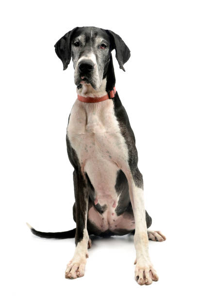 Studio shot of an adorable great dane dog picture id1185676191?b=1&k=6&m=1185676191&s=612x612&w=0&h=erssz2usmilf5kdt78d vv50eroqub 6oi0otgkwgba=