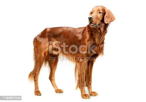 Studio shot of an adorable irish setter standing and looking curiously