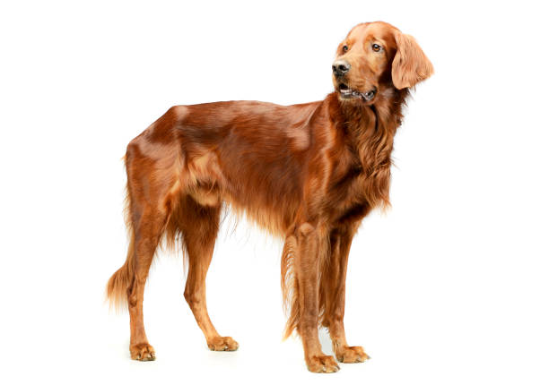 Studio shot of an adorable irish setter Studio shot of an adorable irish setter standing and looking curiously irish setter stock pictures, royalty-free photos & images