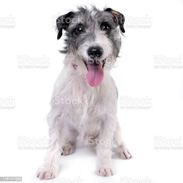 Studio shot of an adorable mixed breed dog picture id1187427638?b=1&k=6&m=1187427638&s=612x612&h=8xzvxtg hcovd9paro7ru ab9isokf9azuzzit11jaq=