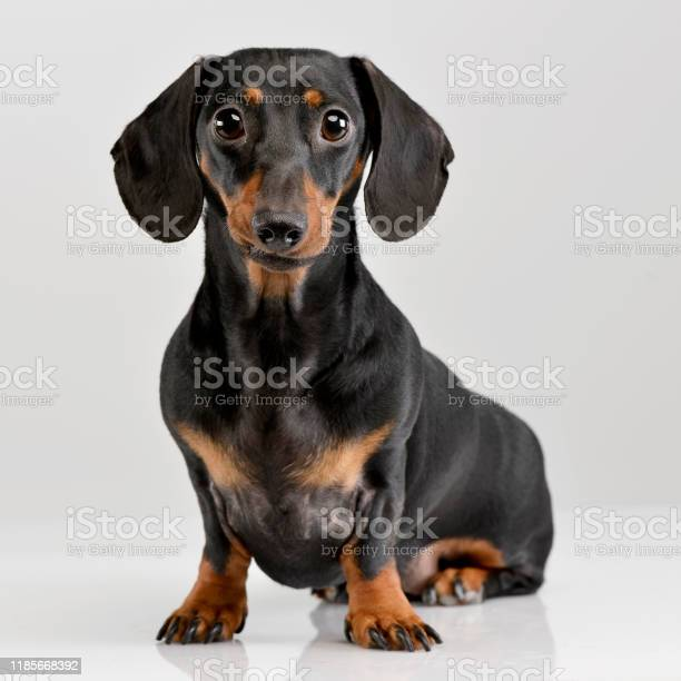 Studio shot of an adorable short haired dachshund picture id1185668392?b=1&k=6&m=1185668392&s=612x612&h=d2ysf8dhom4w5g5r 1xvipx59ao3lh7y xw0psbketq=