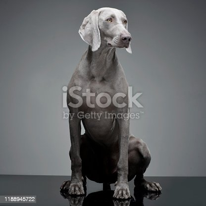 Studio shot of an adorable Weimaraner dog sitting on grey background.