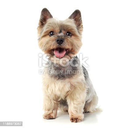 Studio shot of an adorable Yorkshire Terrier looking curiously  at the camera - isolated on white background.