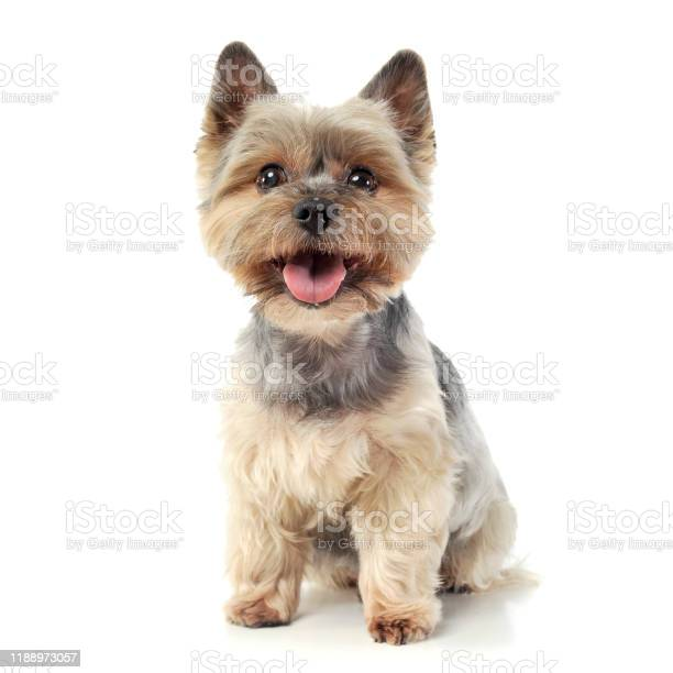 Studio shot of an adorable yorkshire terrier looking curiously at the picture id1188973057?b=1&k=6&m=1188973057&s=612x612&h=u9q9geihgcuqyjjzyrjl4qshvkvqnr5v0149k1aegvc=