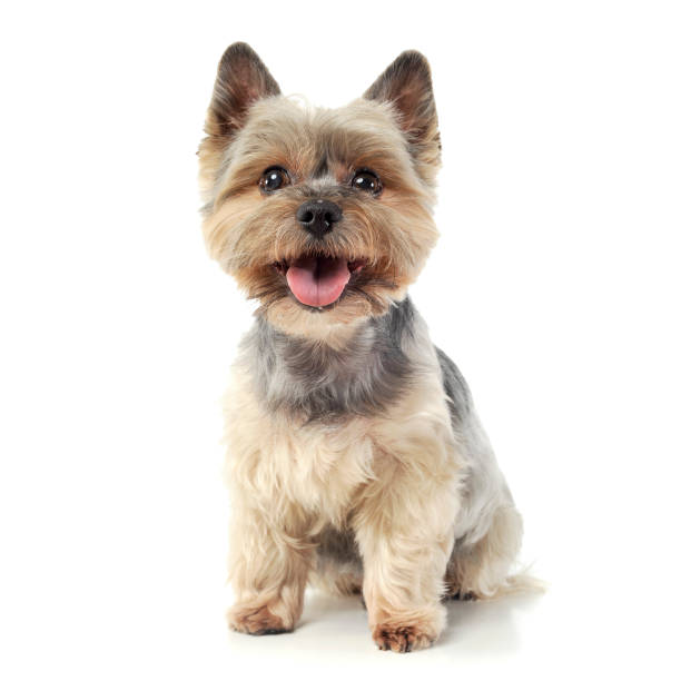 Studio shot of an adorable yorkshire terrier looking curiously at the picture id1188973057?b=1&k=6&m=1188973057&s=612x612&w=0&h=307ogepltjjlg2vb4myjhld2n5fqe17geejb90a6aro=