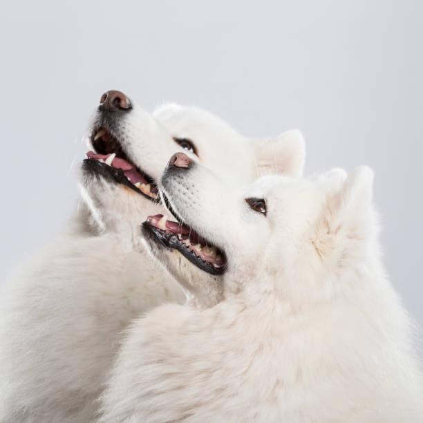 Studio shot of an expressive Samoyed dog couple on neutral backround stock photo