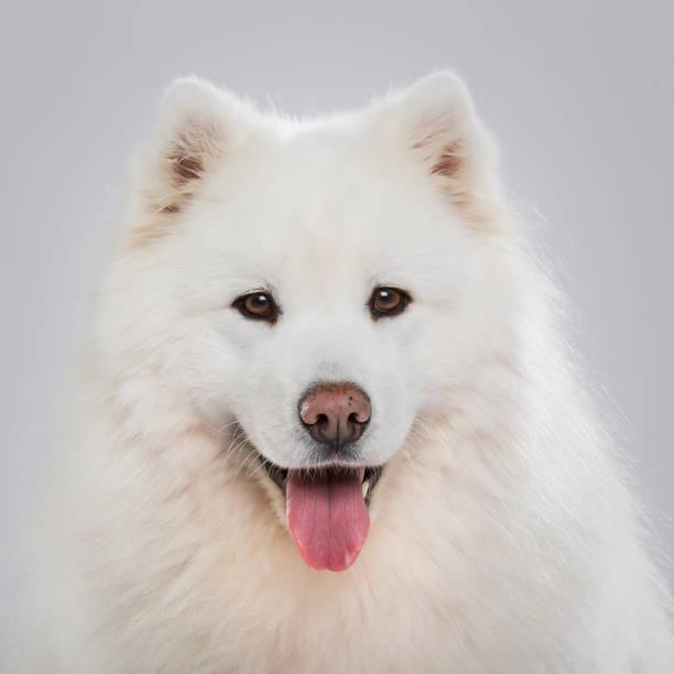 Studio shot of an expressive Samoyed dog isolated on neutral backround stock photo