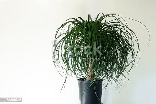 Studio shot of an indoor ponytail palm on a stand against white wall background for text