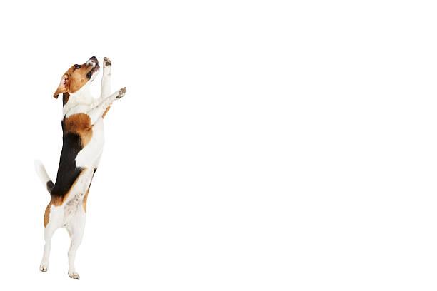 Studio shot of beagle dog jumping against white background picture id494761987?b=1&k=6&m=494761987&s=612x612&w=0&h=5yydfx19msrvoip7celwigk yy83gisayub2xgwrumk=