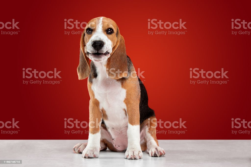 Studio Shot Of Beagle Puppy On Red Studio Background Stock Photo Download Image Now Istock
