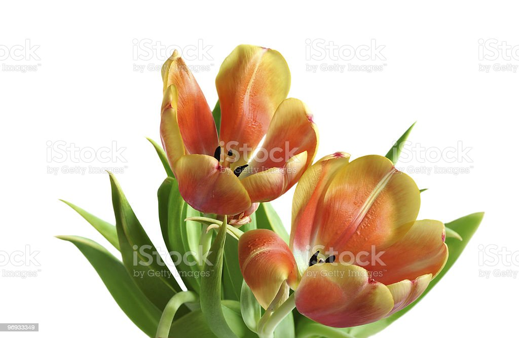 studio shot of blossoming flowers royalty-free stock photo