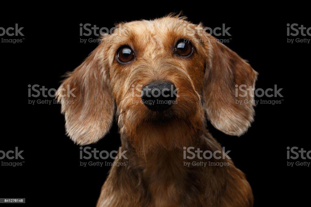 Studio shot of Dachshund Dog stock photo