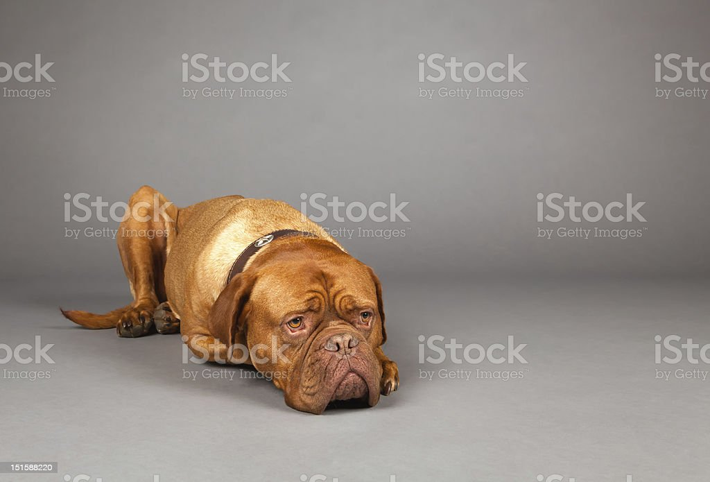 Studio Shot of  Dogue de Bordeaux in Collar Lying Down stock photo