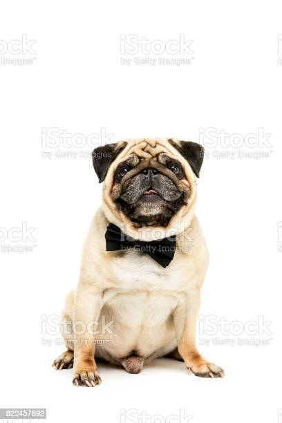Studio shot of funny pug dog in bow tie isolated on white picture id822457692?b=1&k=6&m=822457692&s=612x612&h=lmdbphqvwfzkqags7dfknrtdk3ldvtmqutn7fwtxq k=