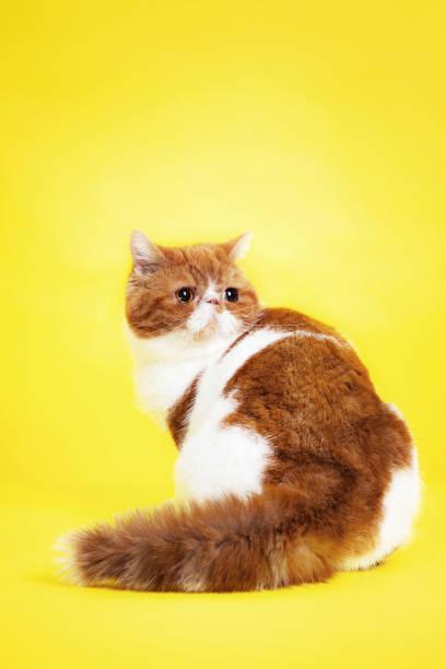 Studio Shot of Garfield Cat stock photo