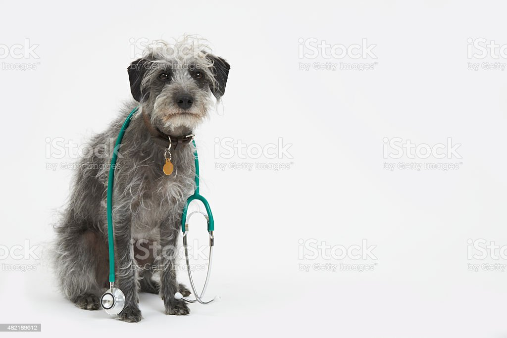 Studio Shot Of Lurcher Dog Wearing Stethoscope stock photo