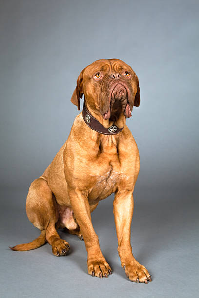 studio shot of sitting dogue de bordeaux in collar - carolinemaryan stock pictures, royalty-free photos & images