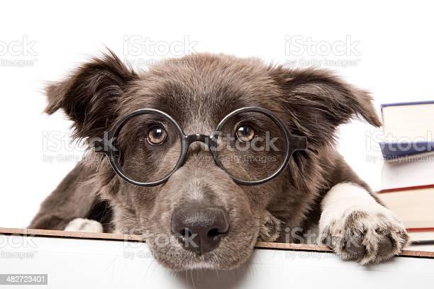 Studious Pup