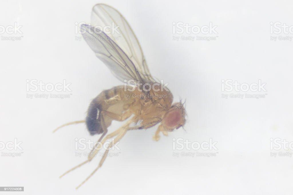 Study Genetic Of Drosophila Melanogaster For Education In Laboratory ...