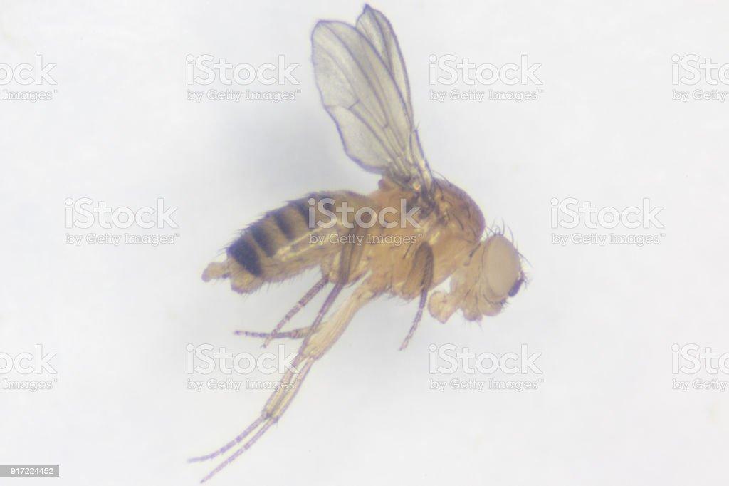 Fotografía de Estudio Genético De Drosophila Melanogaster Para La ...