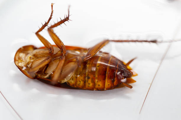 Study of cockroaches to find parasites in laboratory. stock photo