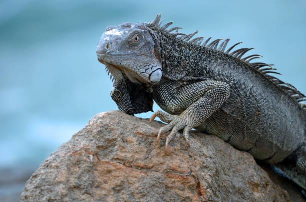 A Study of Green Iguanas in Aruba stock photo