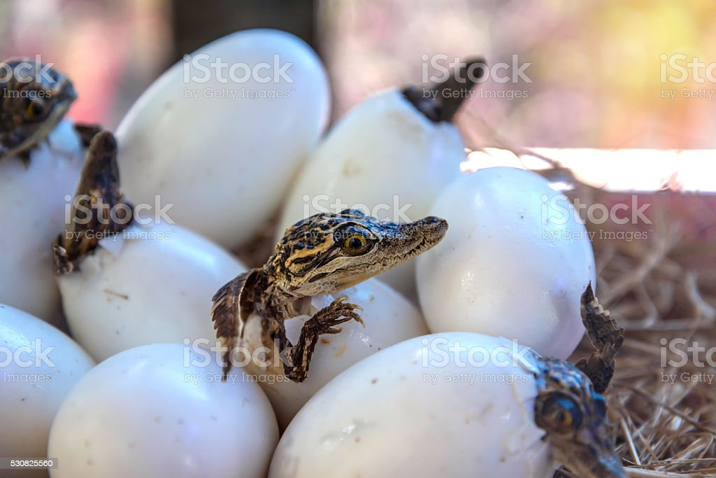 stuff of Little baby crocodiles are hatching from eggs stock photo