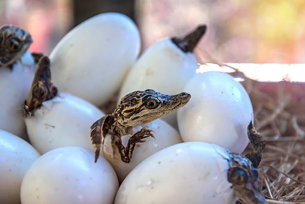 스터프 거의 아기 악어와 부화하다 메트로폴리스 에그스 있습니다. - 파충류 뉴스 사진 이미지