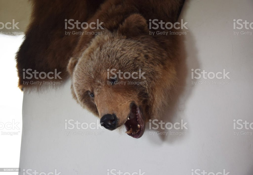 Stuffed bear skin hanging on wall. stock photo