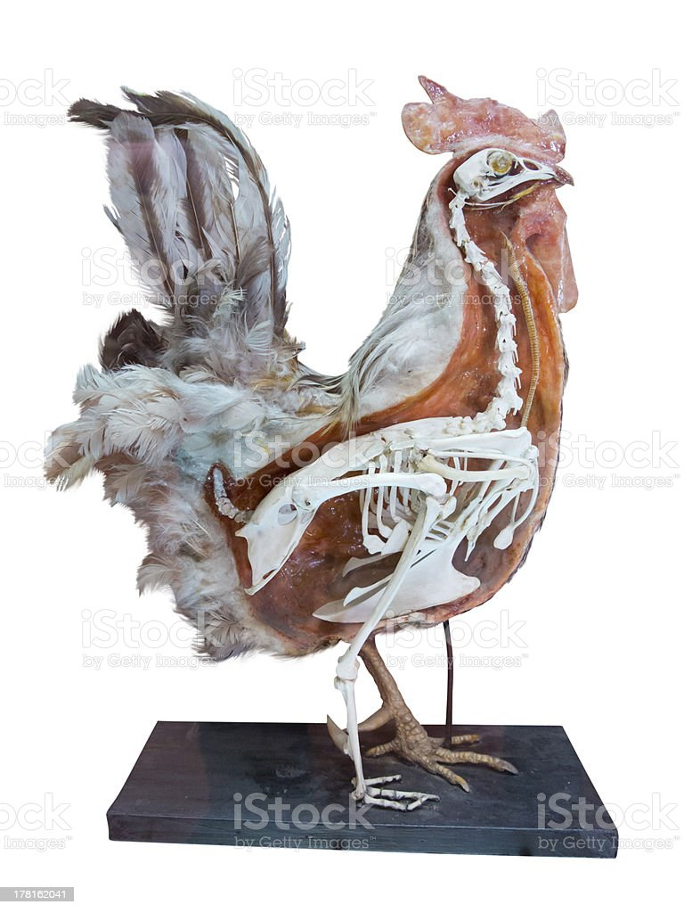Stuffed cock with skeleton inside isolated over white stock photo