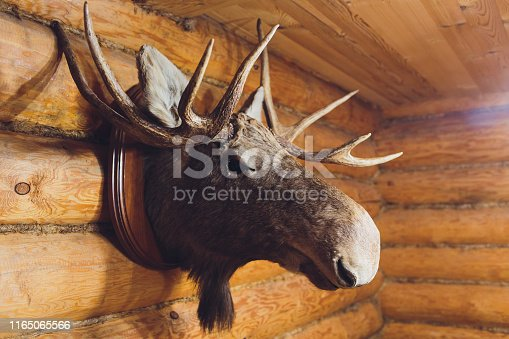 stuffed elk deer head on the wall of hunter house