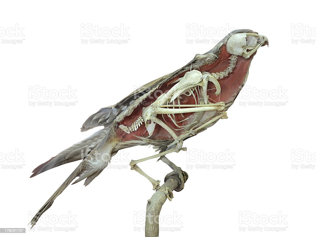 Stuffed falcon bird with skeleton inside isolated over white royalty-free stock photo