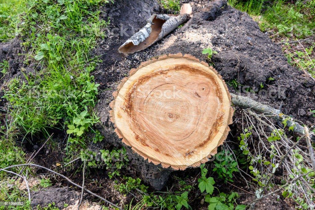 Tocón de un árbol recién cortado en el Parque - foto de stock