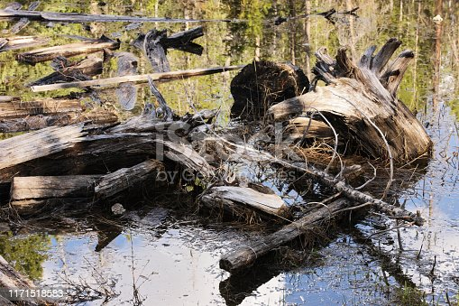 Old driftwood stumps, logs, branches and roots are partially exposed above water with a broken forest reflection appearing among the debris in a wetland.