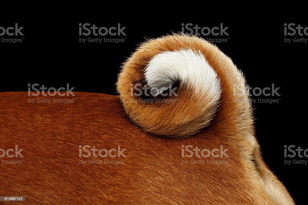 Stuning White with Red Basenji Dog on Isolated Black Background stock photo