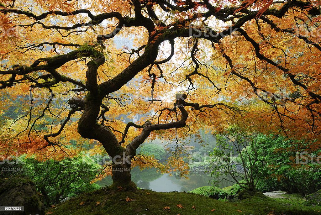 Stunning autumn maple on hill in green forest by water royalty-free stock photo