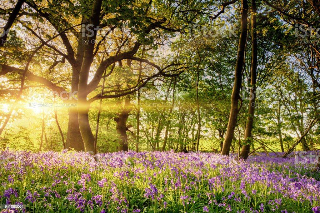Stunning bluebell forest in spring sunrise stock photo