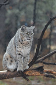Canadian lynx sitting on top of a fallen tree branch in the wild.