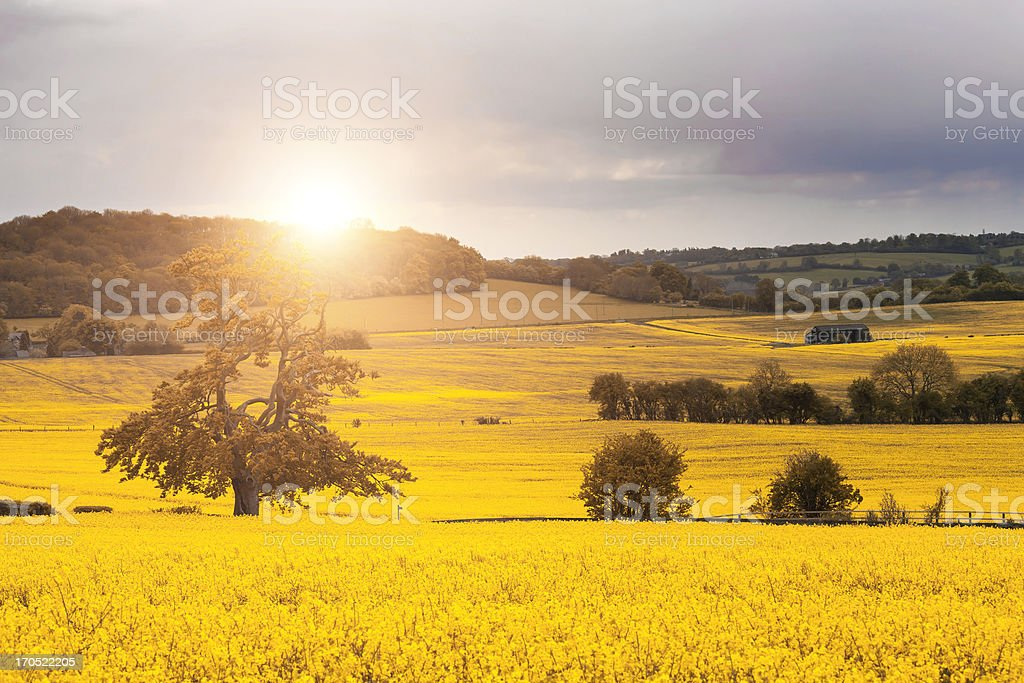 A stunning canola field with the sun gleaming down stock photo