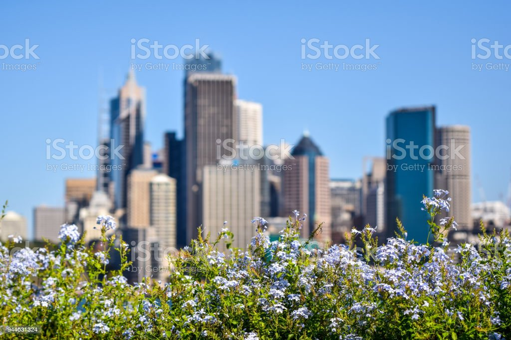 Stunning city skyline view of the Sydney CBD harbour area at Circular Quay. Seen from Dr Mary Booth Lookout in Kirribilli, Sydney, Australia. Selective focus on flowers in the foreground. stock photo