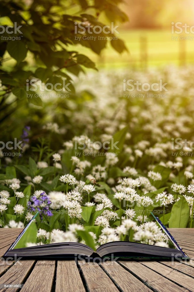 Stunning conceptual fresh Spring landscape image of bluebell and wild garlic in forest in bright glowing sunlight concept coming out of pages in open book stock photo