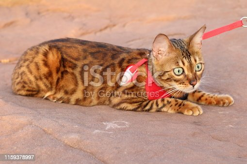 Stunning exotic leopard cat with gorgeous fur.