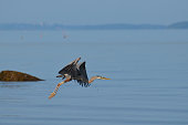 Breath taking great blue heron flying over Casco Bay in Maine.