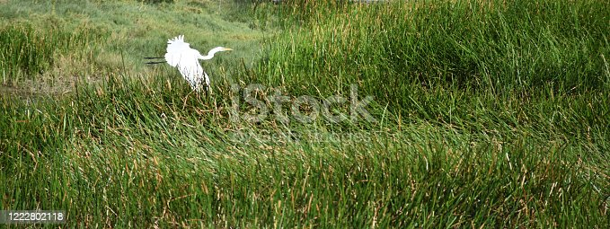 Marsh grass with a low flying great egret.