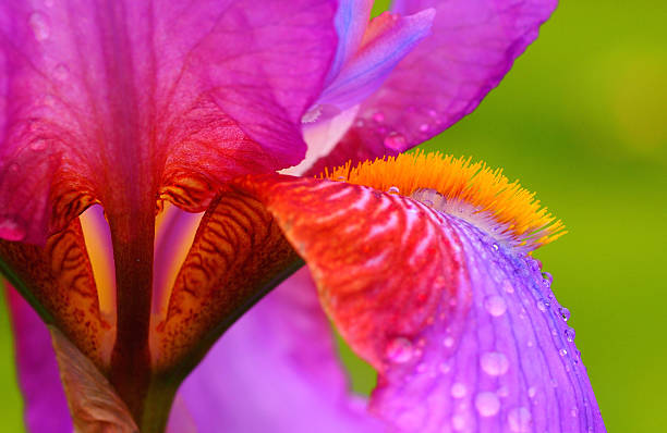 stunning iris - iris flower stock photos and pictures