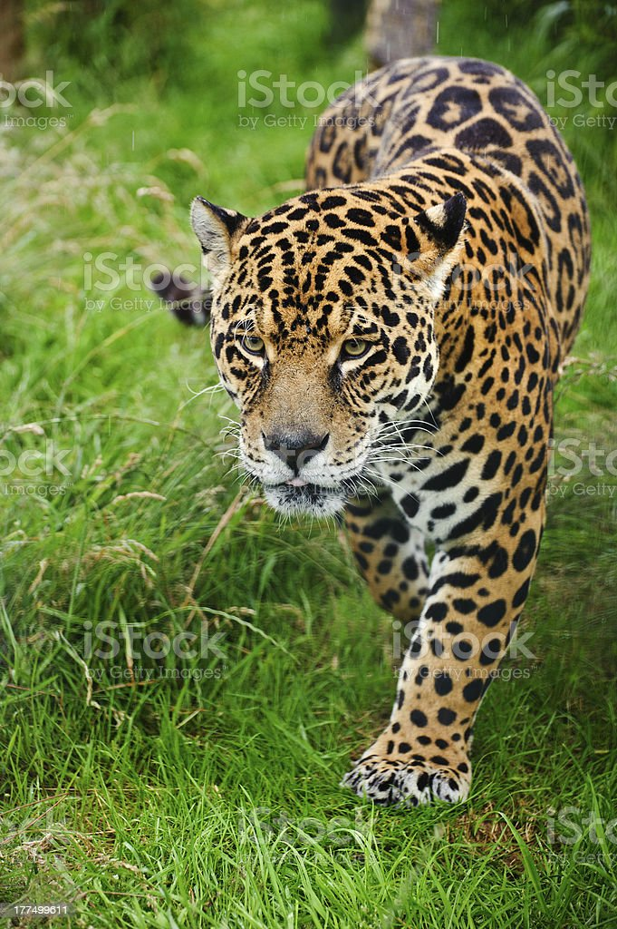 Stunning jaguar Panthera Onca prowling through long grass royalty-free stock photo